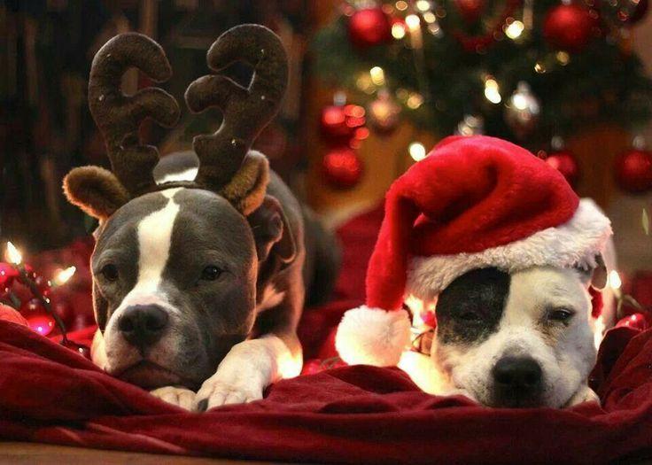 Pit Bull Christmas