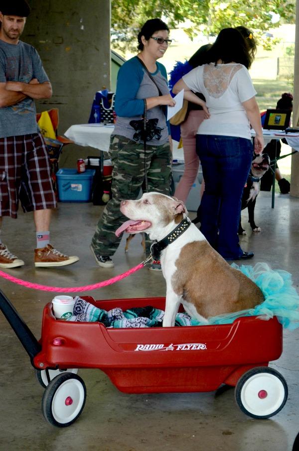 love a bull pit bull awareness day festival