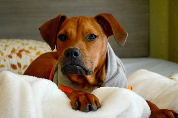dog in hoodie