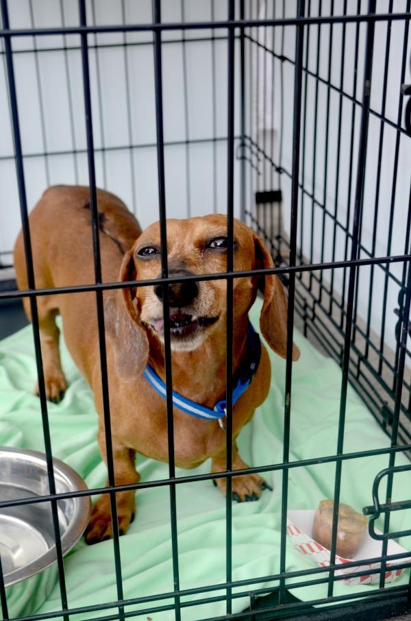 rescue dachshund
