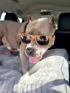 stella the rescue pit bull